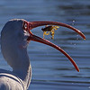 American white ibis with a Blue crab