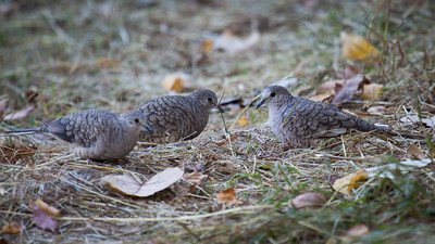 Inca  Doves in LaGrange