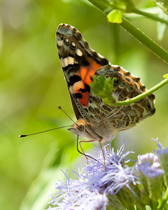 Painted Lady in Texas