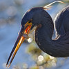 Tricolored heron with a Minow.