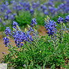 Blue bonnets in front of chapel in Mason, Texas