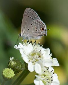 Gray Hairstreak Atop White Wildflower