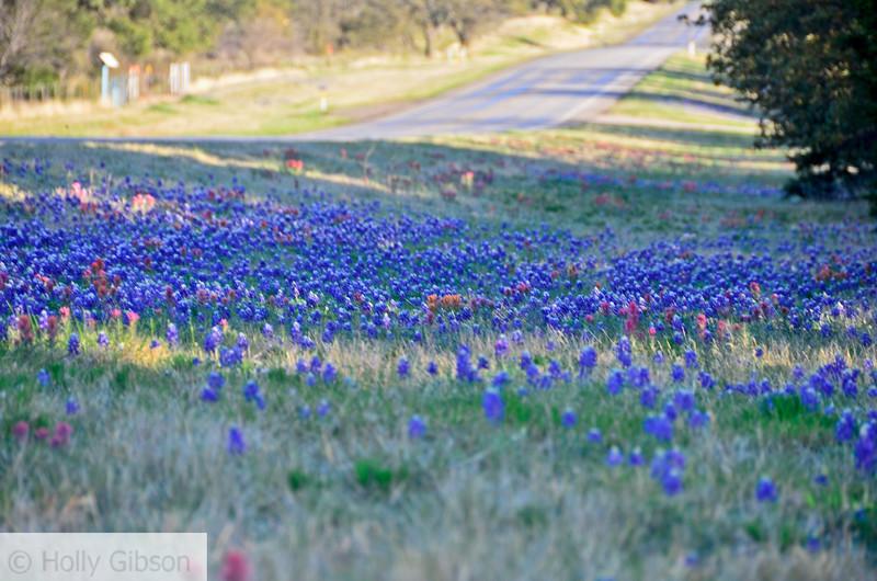 Blue bonnets north of Fredricksburg, Texas