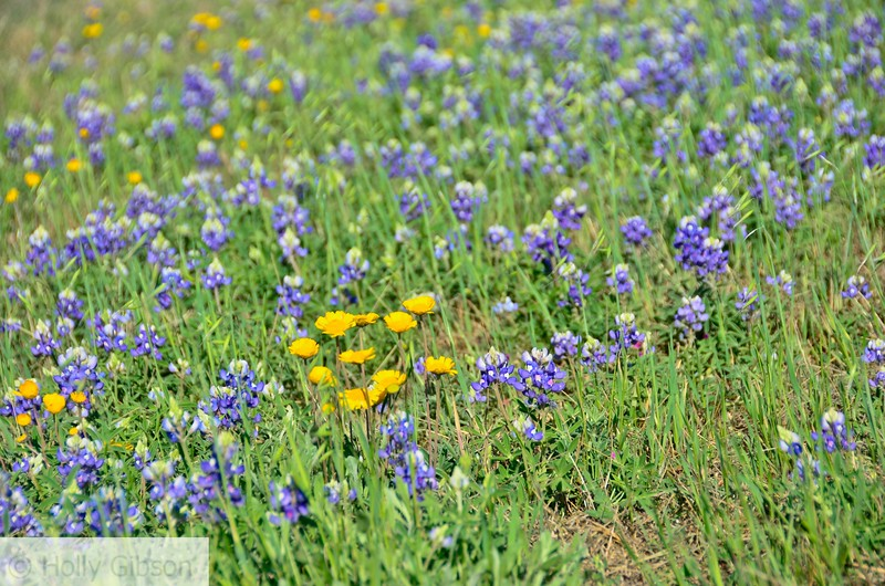 Wildflowers in Texas