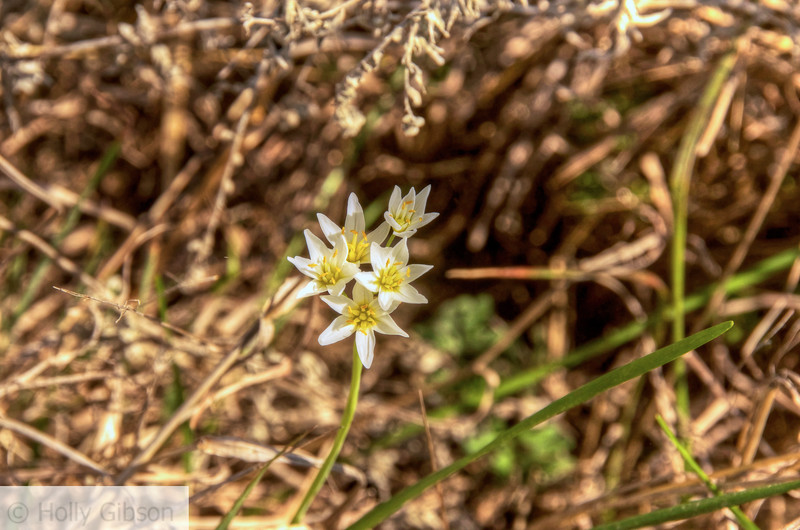 Wildflower - Texas hill country