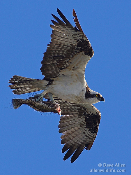 Osprey with a Seatrout.