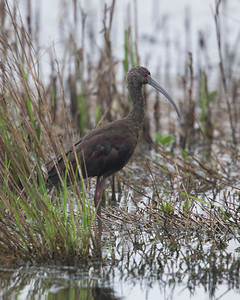White-faced Ibis (Plegadis chihi).  Anahuac National Wildlife Refuge.  Anahuac, Texas.