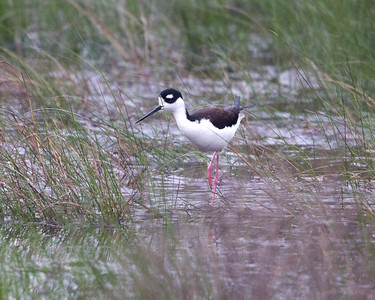 Black-necked Stilt (Himantopus mexicanus). Near Shoveler Pond, Anahuac National Wildlife Refuge, Texas