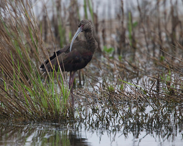 White-faced Ibis (Plegadis chihi).  Anahuac National Wildlife Reguge.  Anahuac, Texas.