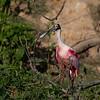 Roseate Spoonbill (Platalea ajaja).  Adult. Smith Oaks Rookery, High Island, Texas.