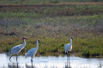 Whooping Cranes family