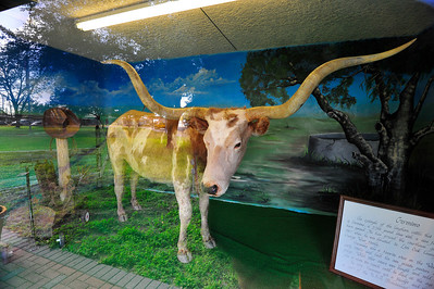 Geronimo, Texas longhorn These cattle roamed wild across the prairies and brush country of South Texas.  In the 1870's they were rounded up and driven north to Kansas railroads. Live Oak County Courthouse, George West, Texas