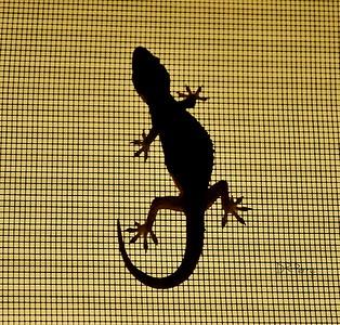"""""""Gecko on a Window Screen"""""""