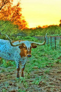 """Longhorn Sunset"" - Must be back in Texas!"