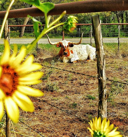 """""""Staring Steer"""" - Fort Griffin, Texas"""
