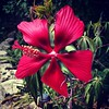 """Texas Star Hibiscus"" - Texas"