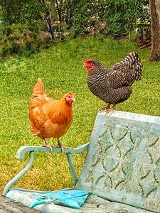 """""""Fowl Conversation"""" - Jollyville, Texas"""