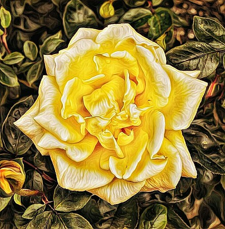 """God Made, I Watered"" - Abilene, Texas Needed to post something really pretty to help take my mind off all the earth rumblings here in Roma today. (January 18, 2017) 😁 This stylized Texas Yellow Rose is from one of 25 rose bushes I have planted. Enjoy!"