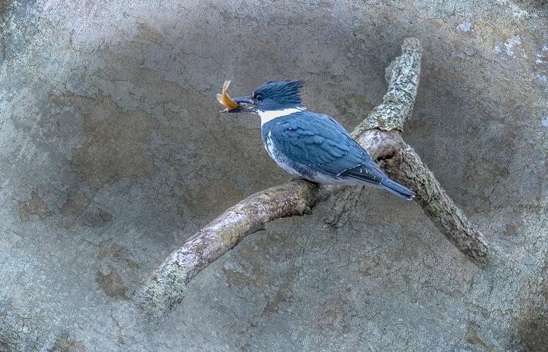 Kingfisher with Breakfast