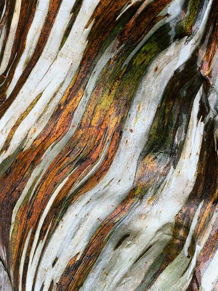 01 Dec 1999, Mount Field National Park, Tasmania, Australia --- Close-up view of Snow Gum (Eucalyptus pauciflora) bark in Mount Field National Park --- Image by © O. Alamany & E. Vicens/Corbis