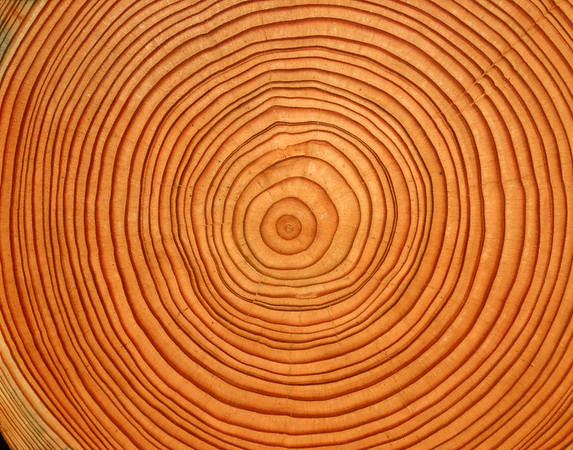 Cross section of tree trunk --- Image by © Dietrich Rose/Corbis