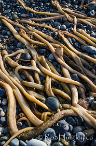 Kelp on a rocky beach.