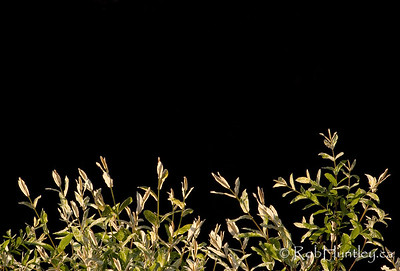 Japanese willow leaves against a dark background. © Rob Huntley
