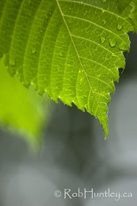 Leaf close-up detail. Close-up of a leaf showing detail of veins and edge. © Rob Huntley