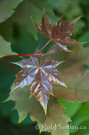 New growth. Red maple leaves appearing in spring. © Rob Huntley