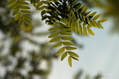 Honey Locust Leaves with backlighting - soft focus. © Rob Huntley