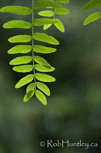 Honey Locust Leaves - selective focus. © Rob Huntley