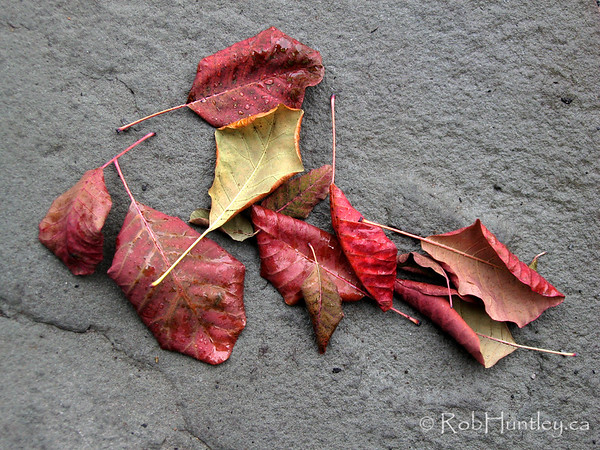 Fall leaves, mainly purple smokebush leaves (Cotinus coggygria 'purpureus'), which have fallen naturally into a pleasing arrangement on my front door step.<br /> <br /> © Rob Huntley