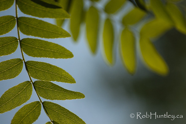 Honey Locust Leaves with backlighting.
