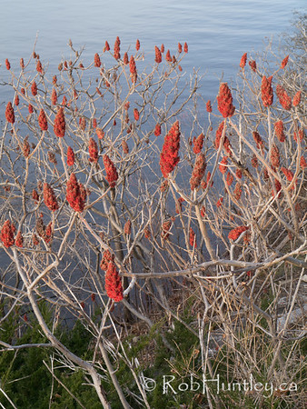Leafless sumacs by the river in late autumn. Beside the river, sumac seed heads remain after the late autumn winds have removed all the leaves. © Rob Huntley