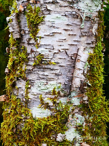 Birch Bark and Moss