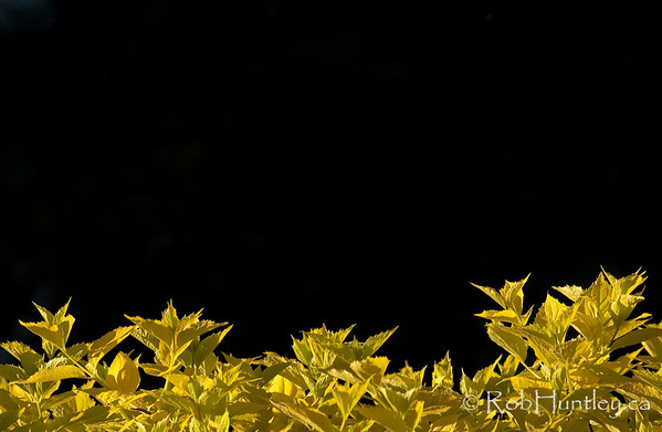 Yellow leaves on black. Yellow gold shrub foliage against a dark background. © Rob Huntley