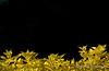 Yellow leaves on black. Yellow gold shrub foliage against a dark background.<br /> © Rob Huntley