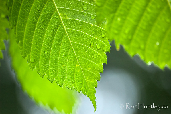 Leaves close-up detail. Close-up of green leaves showing detail of veins and edges. © Rob Huntley
