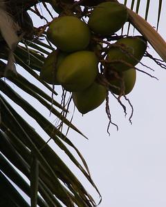 Coconuts on palm, Sanibel Island, Florida