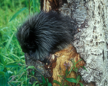 Baby porcupine on hollow tree