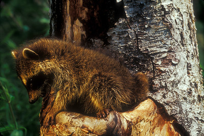 Baby racoon emerges from hollow tree