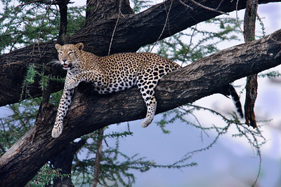 Mother leopard rests in tree and calls to cubs to feast on a gerenuk.  This photo hangs in my living room.