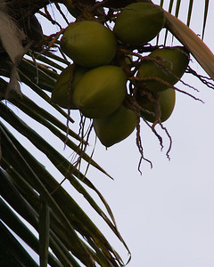 Coconuts on palm, Sanibel Island, Florida