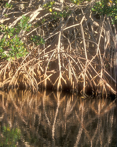 Red mangrove roots reflected in Ding Darling.  Mangroves protect barrier islands from hurricanes and provide food for the ecosystem.