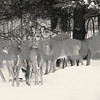 Huge group of Whitetail Deer Does