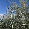Jayena to La Herradura; Olive trees.