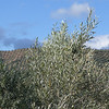 Jayena to La Herradura; Olive trees