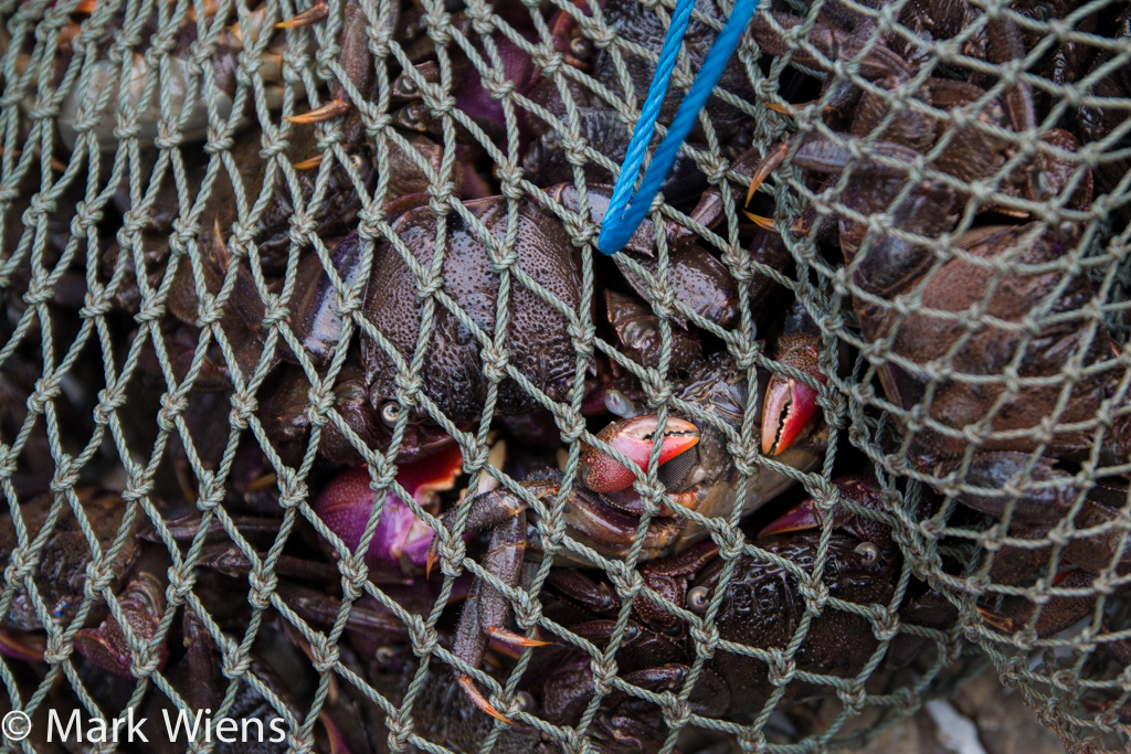 sesarma crabs