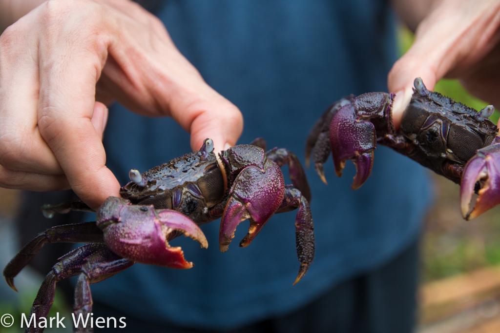 crabs in Thailand
