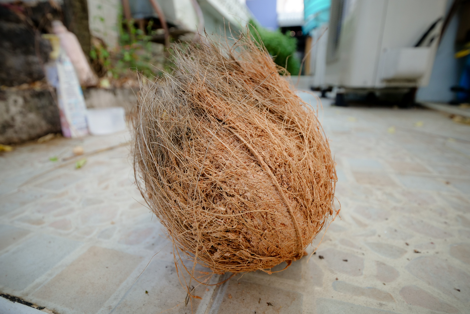 Tough hairs surround a mature coconut